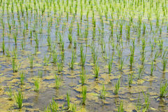 Rice field finished the rice planting Royalty Free Stock Image