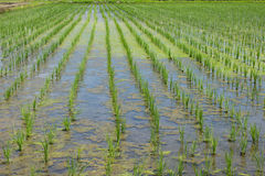 Rice field finished the rice planting Royalty Free Stock Photography