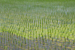 Rice field finished the rice planting Royalty Free Stock Images