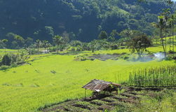 Rice field in Flores Indonesia Stock Photography
