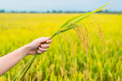 Rice field, focus on rice straws in hands Stock Image