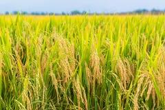Rice field Royalty Free Stock Photo