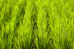 Rice field fragment Royalty Free Stock Images