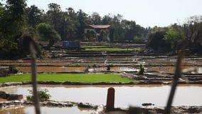 Rice field stock footage