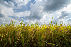 Rice field gold and sky Royalty Free Stock Photos