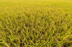 Rice field gold spike Royalty Free Stock Images