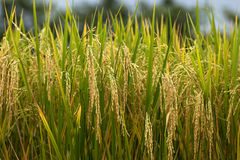 Rice field gold spike Royalty Free Stock Photos