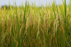 Rice field gold spike Stock Image