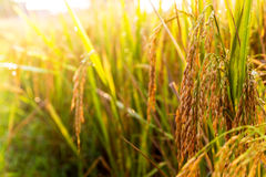 Rice field 01. Golden rice in the fields Royalty Free Stock Image