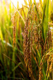 Rice field 02. Golden rice in the fields Stock Photo