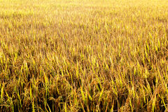 Rice field 03. Golden rice in the fields Royalty Free Stock Images