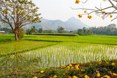 Rice field with golden tree Royalty Free Stock Images