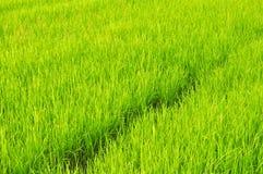 Rice of field Stock Photo