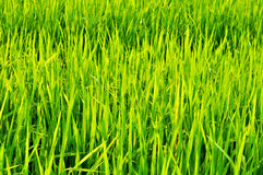 Rice of field Stock Images
