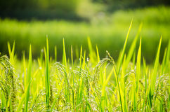 Rice in the field. Green rice in the field Royalty Free Stock Images
