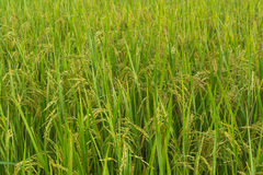 Rice field. Green rice field background picture Royalty Free Stock Photography