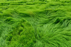 Rice field for green background. Rice field for green background and texture Royalty Free Stock Photography