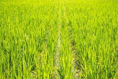 Rice field. The green and black rice field in Thailand Stock Photos