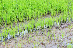 Rice field green color Stock Image