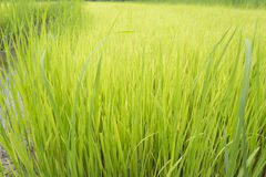 Rice field. Green color in thailand Stock Photo