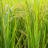rice field green farm   background, Stock Photo