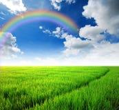 Rice field green grass. Blue sky cloud cloudy landscape background stock photo