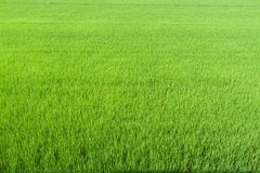 Rice field green grass Stock Image