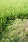 Rice field with green grass agriculture farm background texture from THAILAND. Royalty Free Stock Photography