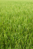 Rice field with green grass agriculture farm background texture from THAILAND. Stock Photography