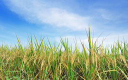 Rice field green grass blue sky Stock Photography