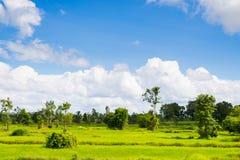 Rice field green grass blue sky cloud cloudy landscape Stock Photos