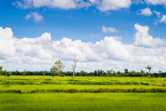 Rice field green grass blue sky cloud cloudy landscape Stock Photos