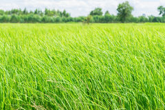 Rice field green grass blue sky cloud cloudy landscape Royalty Free Stock Photos