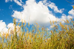 Rice field green grass blue sky cloud cloudy Royalty Free Stock Photos