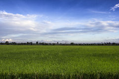 Rice field green grass blue sky cloud cloudy landscape backgroun Stock Images