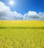 Rice field green grass blue sky cloud cloudy landscape backgroun Stock Photos