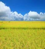 Rice field green grass blue sky cloud cloudy landscape backgroun Royalty Free Stock Photos