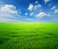Rice field green grass blue sky Royalty Free Stock Photo