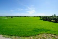Rice field green Stock Photo