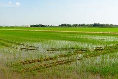 Rice field green grass Stock Photography