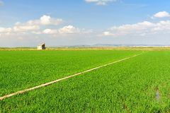 Rice field green grass Royalty Free Stock Photos