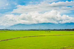 Rice field green grass blue sky cloud cloudy landscape background Royalty Free Stock Photo