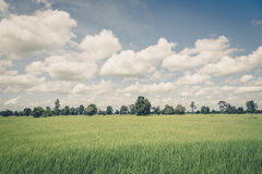 Rice field green grass blue sky cloud cloudy landscape ,vintag Stock Image