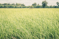 Rice field green grass blue sky cloud cloudy landscape ,vintag Royalty Free Stock Photography
