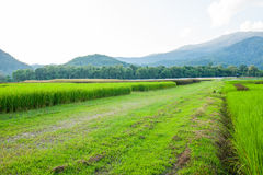 Rice field green grass blue sky cloud cloudy and Mountain landsc Royalty Free Stock Images