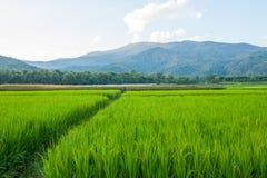 Rice field green grass blue sky cloud cloudy and Mountain landsc Stock Photos