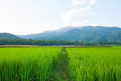 Rice field green grass blue sky cloud cloudy and Mountain landsc Stock Image