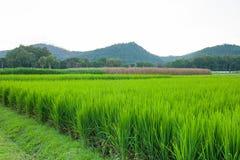 Rice field green grass blue sky cloud cloudy and Mountain landsc Stock Photo