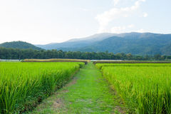 Rice field green grass blue sky cloud cloudy and Mountain landsc Stock Photography