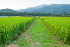 Rice field green grass blue sky cloud cloudy and Mountain landsc Royalty Free Stock Photos